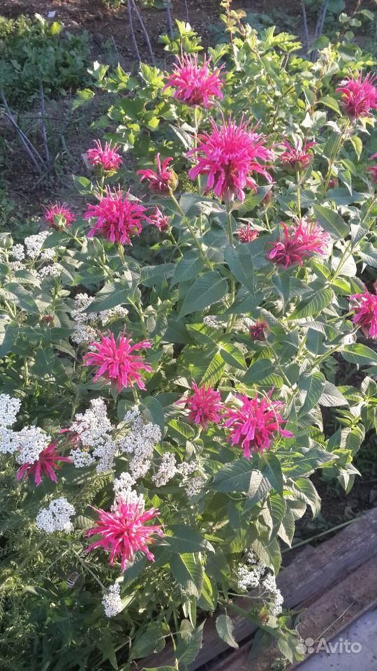 Цветы уличные многолетние цветы все