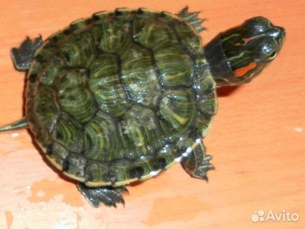 Чем кормить морскую красноухую черепаху в домашних условиях - УО РМД