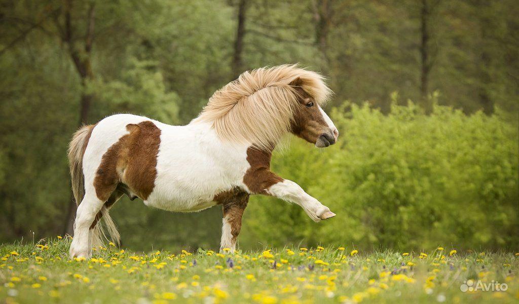 Возьму в дар пони