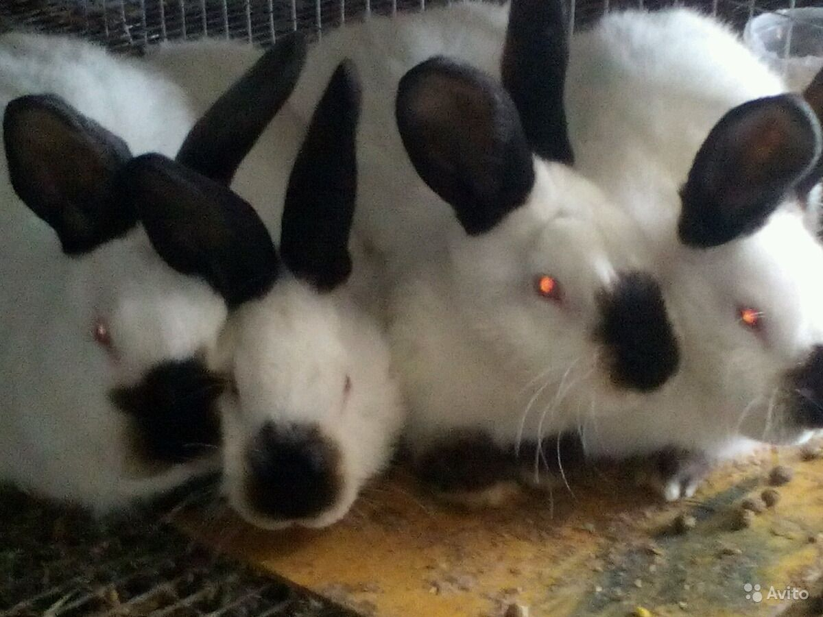 Кролики калифорнийские. Мясная порода