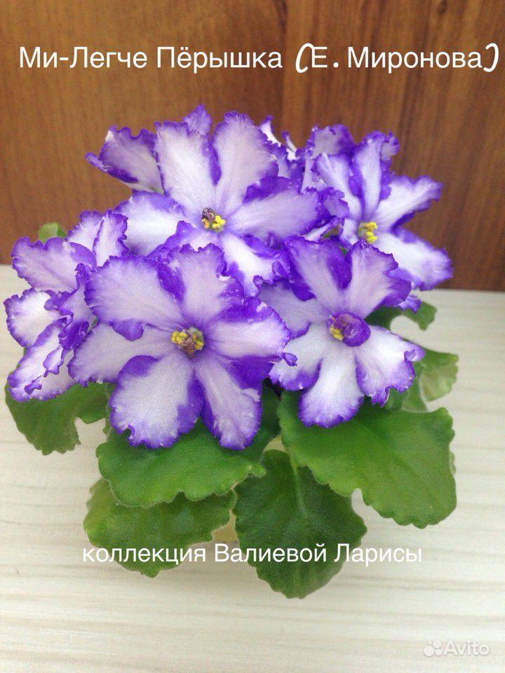 Фиалка химера купить на Зозу.ру - фотография № 5