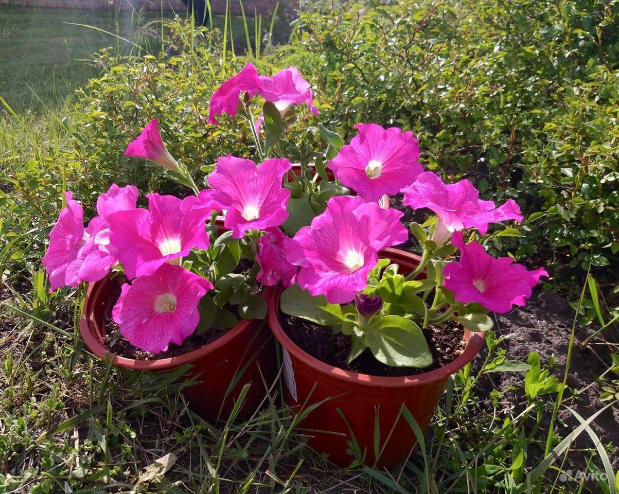 Рассада цветов вегетативная в горшках 0.8 л купить на Зозу.ру - фотография № 2