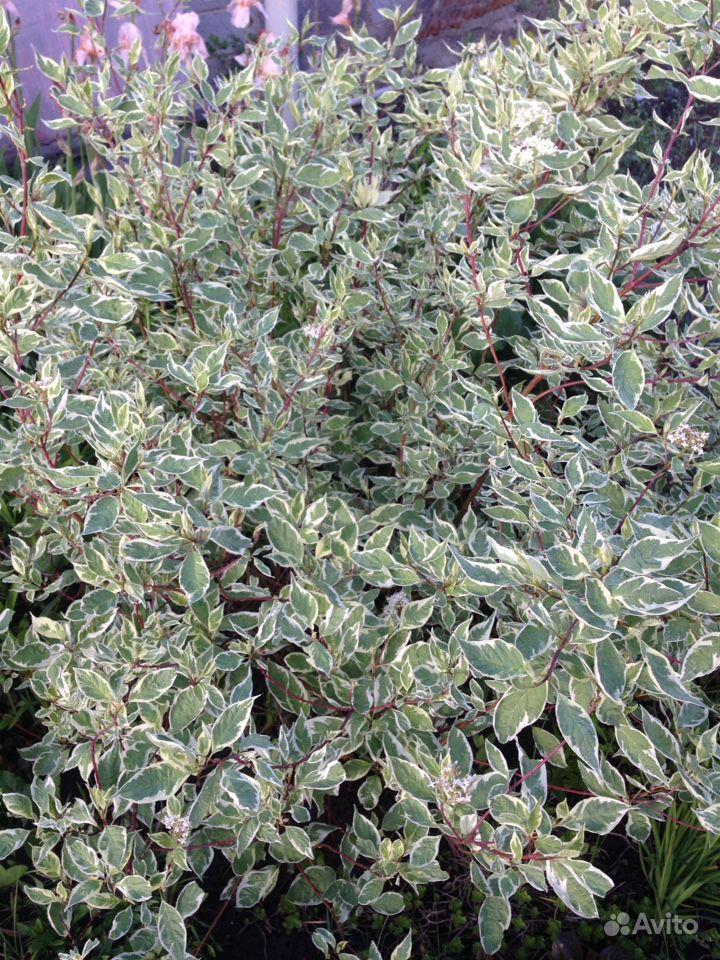 Продам растения купить на Зозу.ру - фотография № 5
