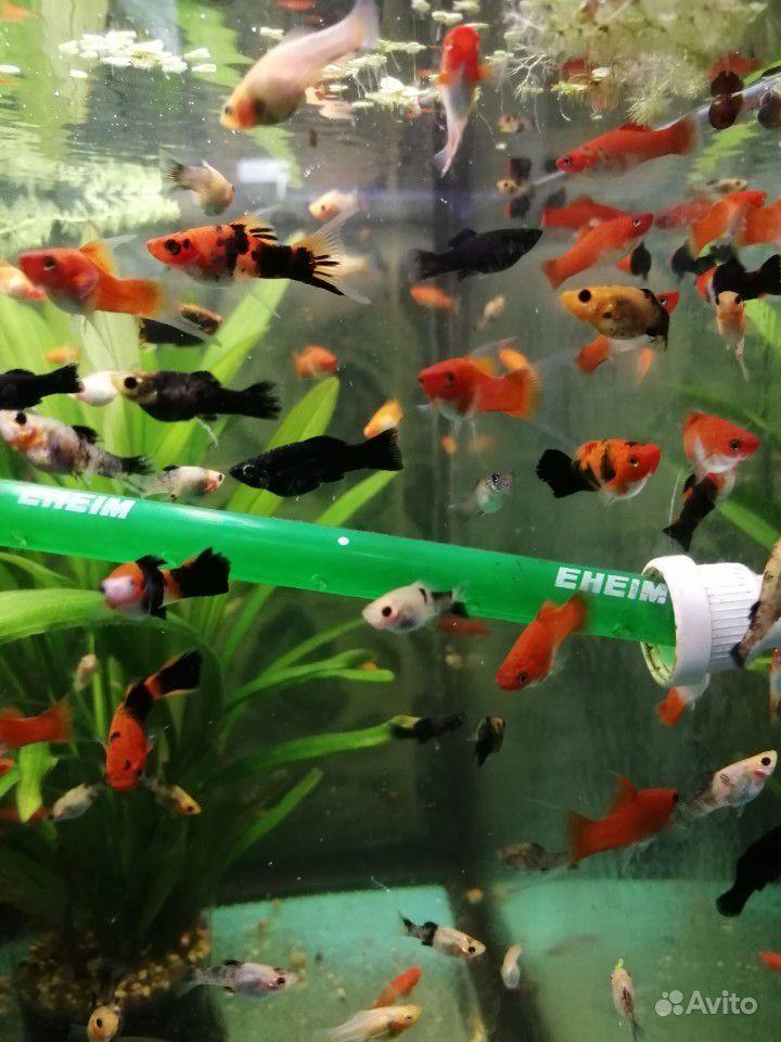 Меченосцы и молинезии аквариумные рыбки купить на Зозу.ру - фотография № 5