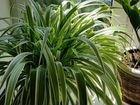Хлорофитум, комнатные растения, рассада, цветок до объявление продам