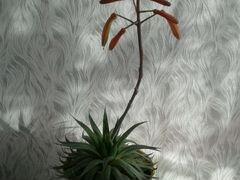 Хавортия комнатные растения
