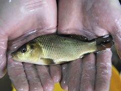 Рыбопосадочный материал (малек карпа)