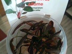 Аквариумное растение эхинодорус