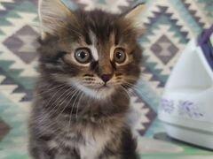 Котенок сибирский (метис)
