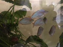 Рыбки Радужницы