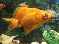 Рыбка-Телескоп, Засвияжский р-н