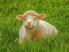 Бараны,овцы