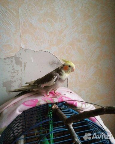 Как приучить попугая к рукам кореллу
