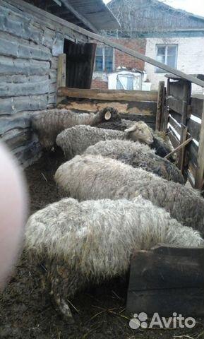телефоны, время купить овец в ростовской области российская фирма