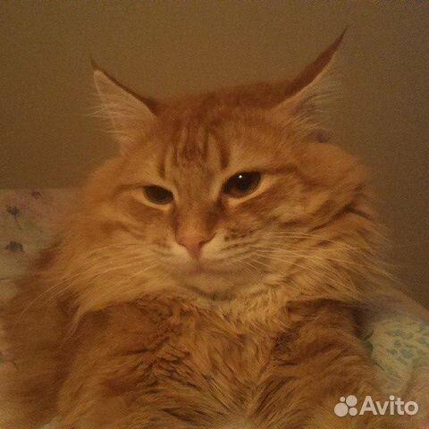 рыжие котята сибирской породы