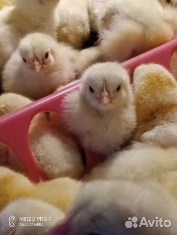 Яйцо инкубационное Кобб500,цыплята