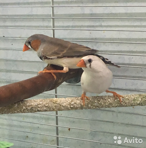 Самец амадины клюет самку