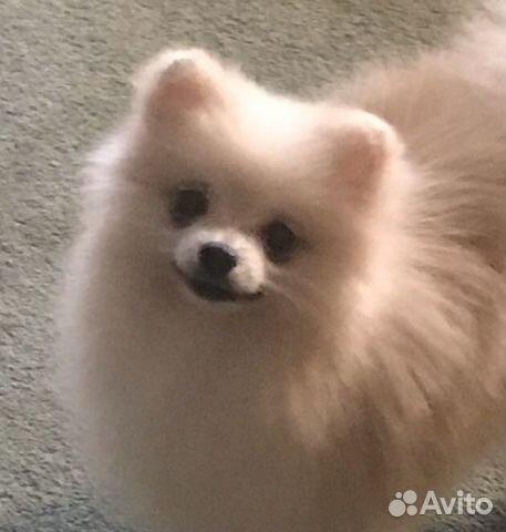Подрощенный щенок цвергшпица купить на Зозу.ру - фотография № 1