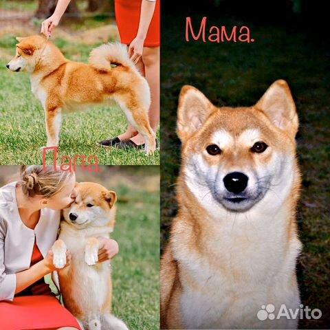 Предлагаем породистых щенков Сиба-Ину купить на Зозу.ру - фотография № 8