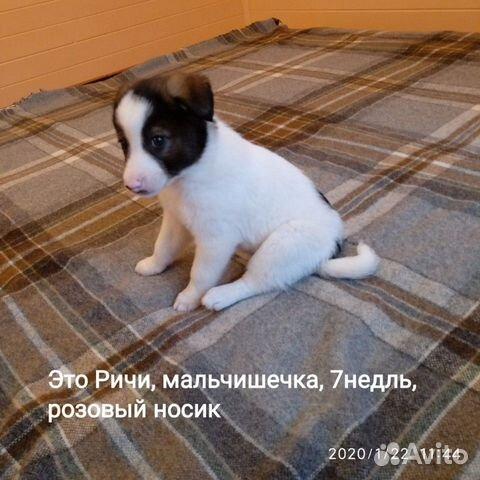 Красивые, здоровые щенки в добрые руки, любящую се купить на Зозу.ру - фотография № 2