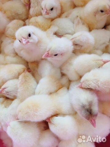 Цыплята чешского бройлера 89272826336 купить 1