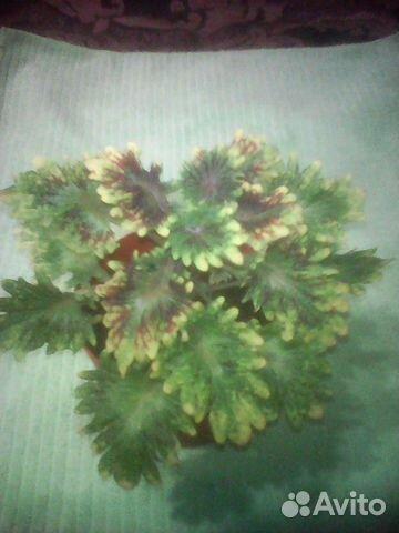 Колеус- экзотика в вашем доме, пилея 89130730125 купить 2