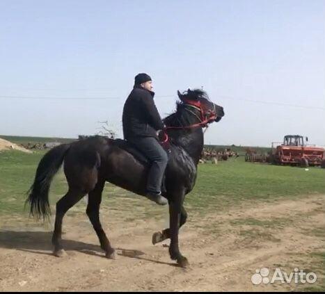 Карачаевский жеребец  купить 1
