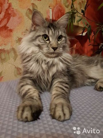 Kittens Maine Coon  buy 9
