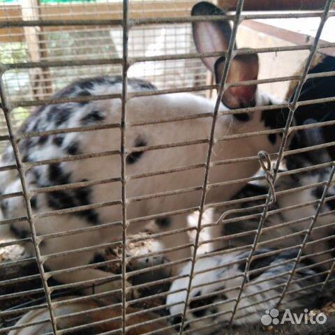 Кролики  89095041049 купить 3