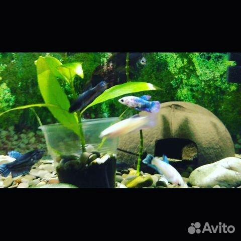 Аквариумные рыбки  89603595956 купить 1
