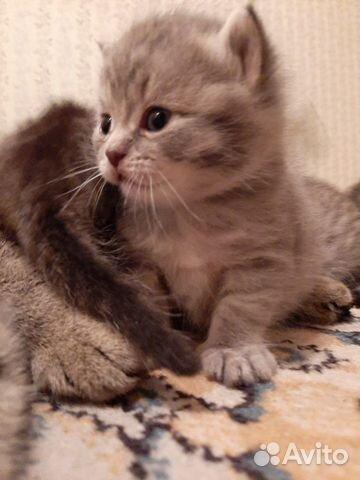 Кошка  89132359715 купить 3