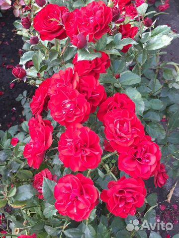 Саженцы деревьев, розы  89304046460 купить 5
