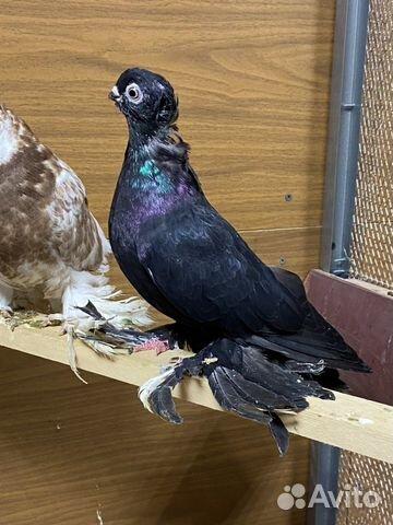 Узбекские голуби  89134552444 купить 7