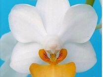 Орхидея фаленопсис luis triprince
