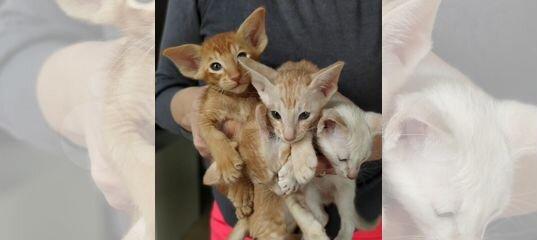 Отличные ориентальные коты и сиамская кошечка