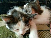Котята мальчики 1,5 месяца