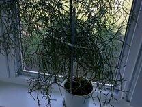 Хатиора комнатное растение