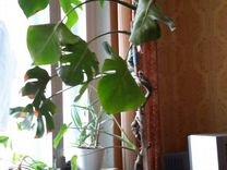 Монстера — Растения в Саратове