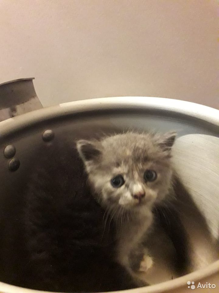 Кошка  89231666554 купить 2