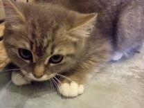 Котенок -девочка 2-3 месяца бесплатно