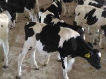Фермерское хозяйство продаёт телят бычков и тёлок