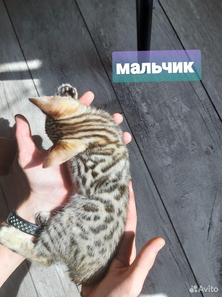 Бенгальские котята  89173097107 купить 7
