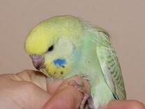 Попугаи волнистые 1-2 месяца