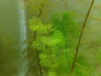 Продам креветок Черри, рыбок Гуппи, растения