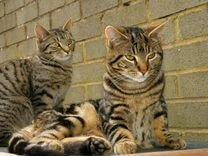 Котята тигрята