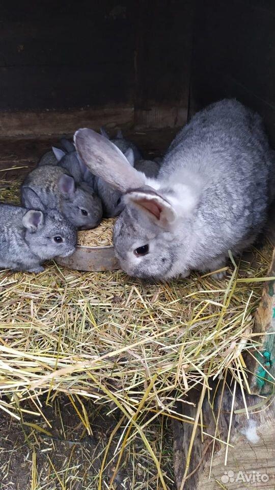 Кролик  89374313043 купить 4