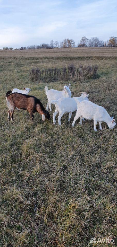 Племенные козлы. Дойные козы. Молодые козы  89872577673 купить 6