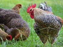 Виандот,Билефельдер инкубационное яйцо цыплята