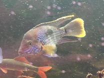 Рыба Акара Бирюзовая. Нерестящаяся пара