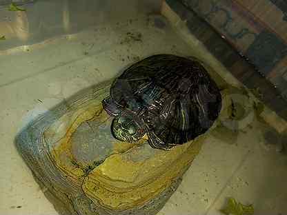 Красноухая черепаха бесплатно